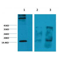 Histone H3(Tri-methyl-K4) Mouse Monoclonal Antibody (2E11)