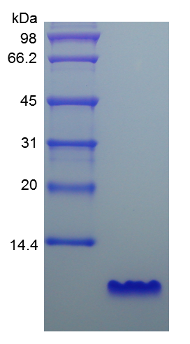 Recombinant Human Epidermal Growth Factor ( rHu EGF ) - SAB | Signalway Antibody