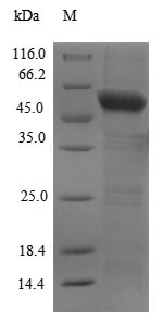 Recombinant Human Cyclic GMP-AMP synthase(CGAS),partial