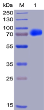 Human CS1 Protein, hFc-His Tag
