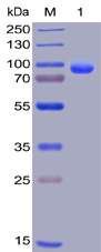 Human CD138 Protein, hFc-His Tag