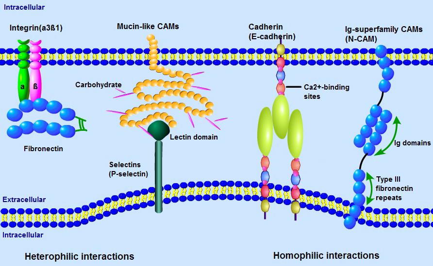 Adhesion Molecules | Cancer Research | Support | Signalway ...